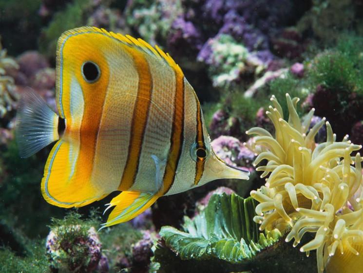 рыба-бабочка-3
