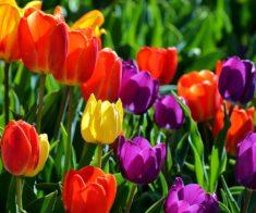 Фестиваль тюльпанов «Көктем көркі қызғалдақ»
