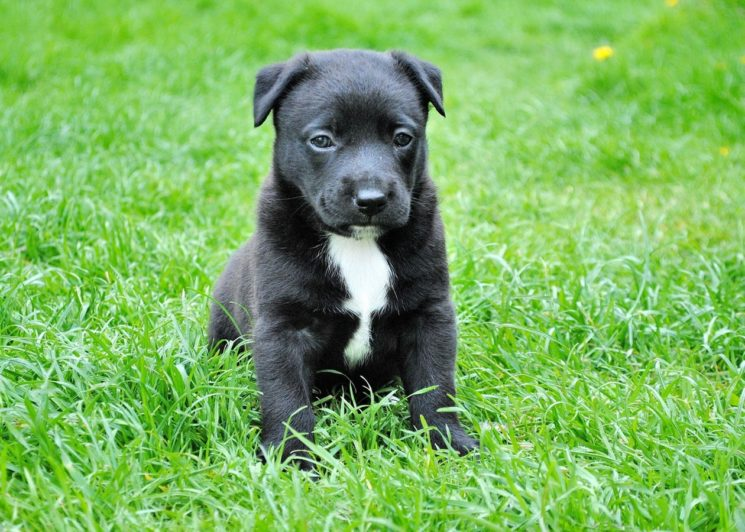 grass-puppy-dog-mammal-border-collie-vertebrate-1343602-pxhere-com