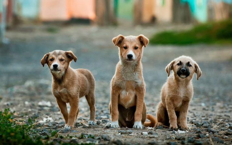 puppy-dog-animal-pet-mammal-vertebrate-20001-pxhere-com