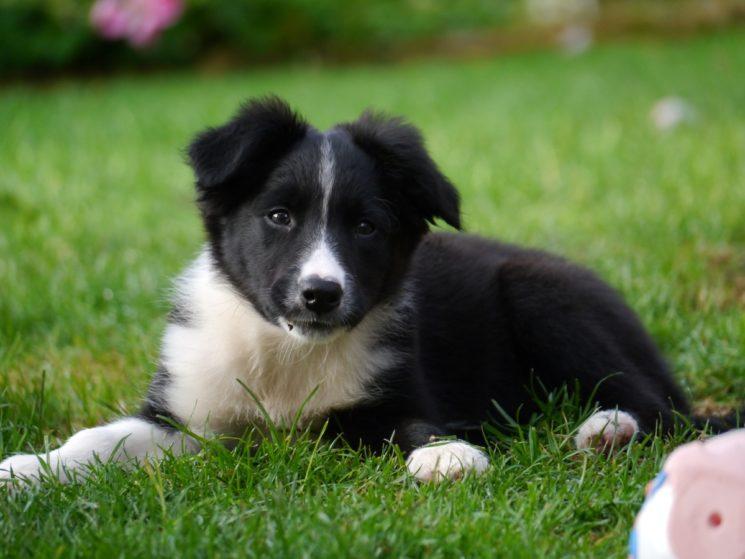puppy-dog-mammal-border-collie-vertebrate-dog-breed-828184-pxhere-com