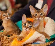Выставка кошек «Весенний Алмакот 2019»
