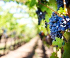 Дегустация вин из Пино Нуар