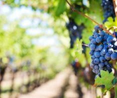 Праздник вина и сбора урожая Ртвели