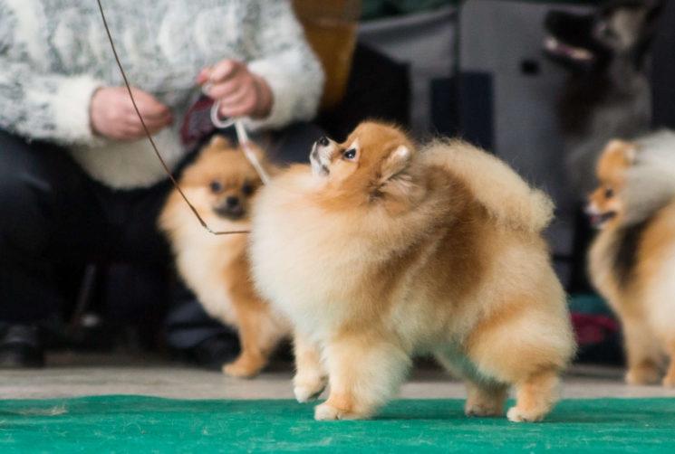 Национальная выставка собак всех пород Astana Winner 2017