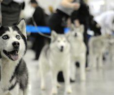 Национальная выставка собак «Astana Winner 2017»