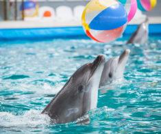 Шоу дельфинов: «Дельфины и Пираты Карибского моря»