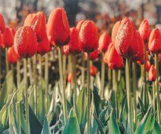 Фотоконкурс на лучшее фото с тюльпанами