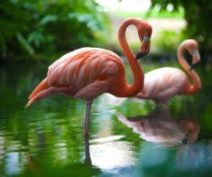 Фламинго в Шымкентском Зоопарке